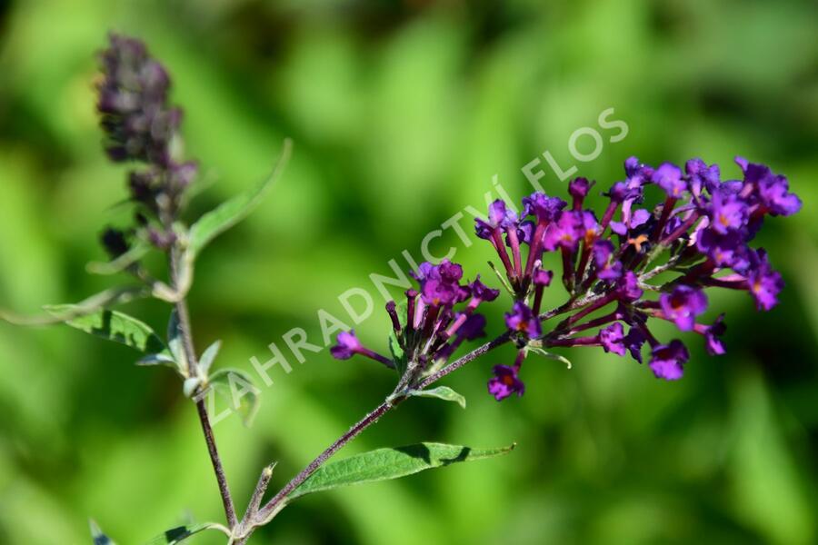 Motýlí keř, Komule Davidova 'Nanho Purple' - Buddleia davidii 'Nanho Purple'
