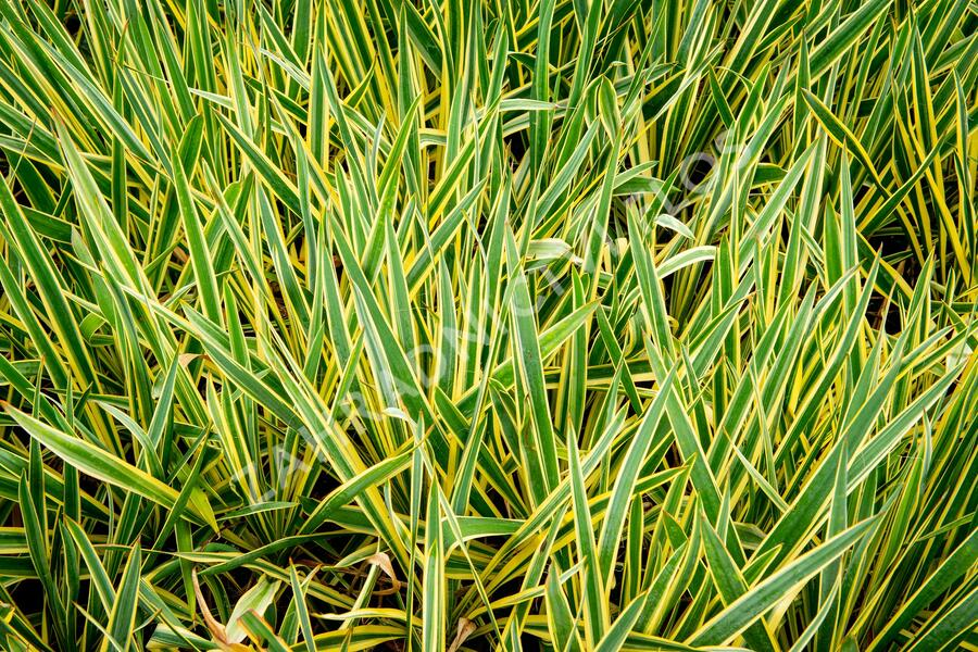 Juka vláknitá 'Bright Edge' - Yucca filamentosa 'Bright Edge'