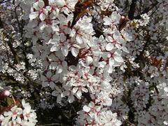 Slivoň myrobalán 'Hessei' - Prunus cerasifera 'Hessei'