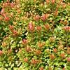 Pieris japonský 'Little Heath Green' - Pieris japonica 'Little Heath Green'