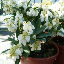 Pieris japonský 'Debutante' - Pieris japonica 'Debutante'
