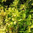 Zimolez kloboukatý 'Moss Green' - Lonicera pileata 'Moss Green'
