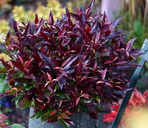 Leukothoe 'Red Lips' - Leucothoe axillaris 'Red Lips'