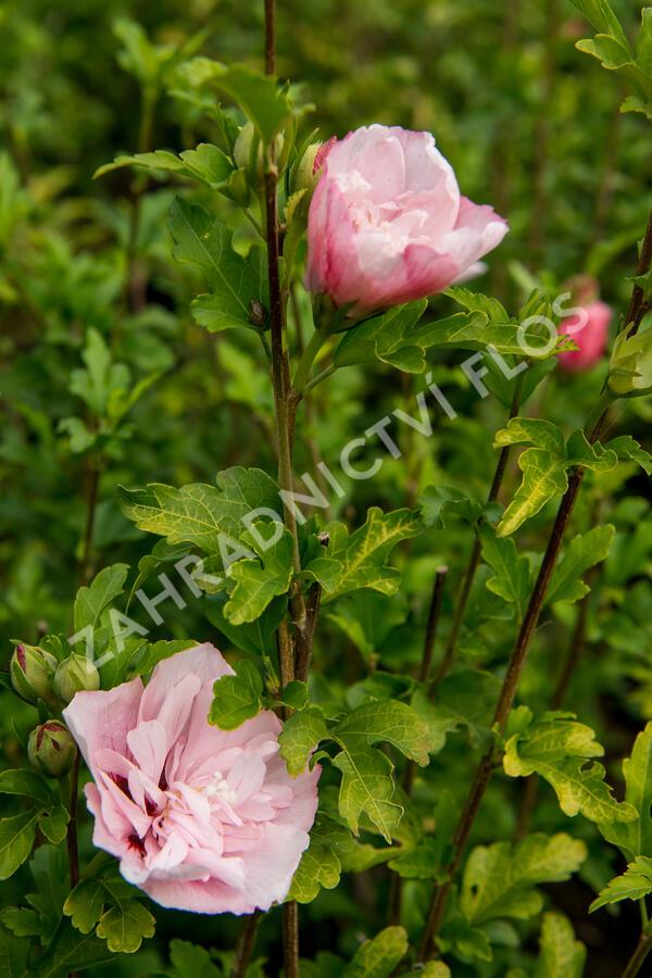 Ibišek syrský 'Pink Chiffon' - Hibiscus syriacus 'Pink Chiffon'