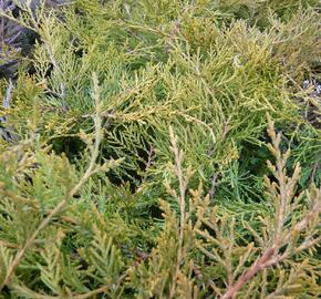 Jalovec prostřední 'Pfitzeriana Compacta' - Juniperus media 'Pfitzeriana Compacta'