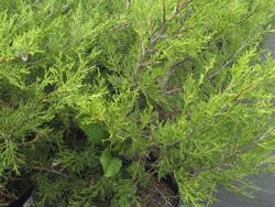 Jalovec prostřední 'Kuriwao Gold' - Juniperus media 'Kuriwao Gold'