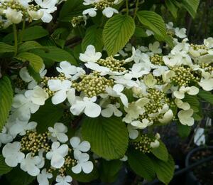 Kalina japonská 'Cascade' - Viburnum plicatum 'Cascade'