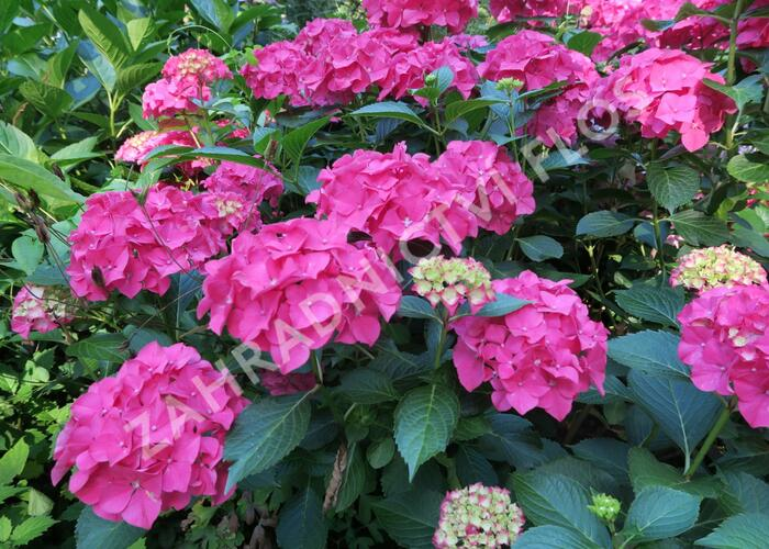 Hortenzie velkolistá 'Alpengluhen' - Hydrangea macrophylla 'Alpengluhen'