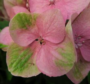 Hortenzie velkolistá 'Gertrud Glahn' - Hydrangea macrophylla 'Gertrud Glahn'