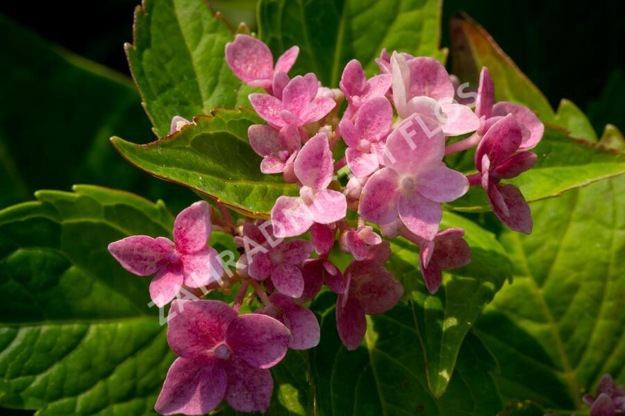 Hortenzie velkolistá 'Lavbla' - Hydrangea macrophylla 'Lavbla'