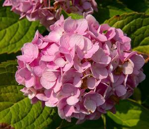 Hortenzie velkolistá 'Générale Vicomtesse de Vibraye' - Hydrangea macrophylla 'Générale Vicomtesse de Vibraye'