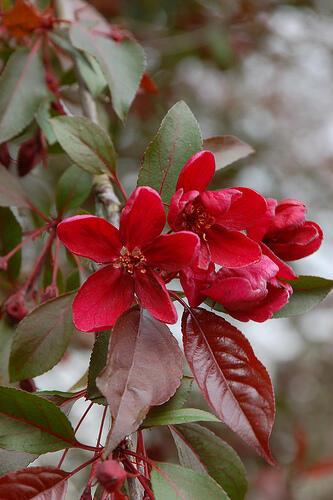 Okrasná jabloň 'Royalty' - Malus 'Royalty'