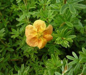Mochna křovitá 'Red Ace' - Potentilla fruticosa 'Red Ace'