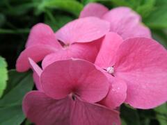 Hortenzie velkolistá 'Pia' - Hydrangea macrophylla 'Pia'