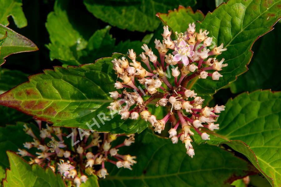 Hortenzie velkolistá 'Rotkehlchen' - Hydrangea macrophylla 'Rotkehlchen'