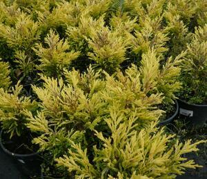 Jalovec polehlý 'Lime Glow' - Juniperus horizontalis 'Lime Glow'