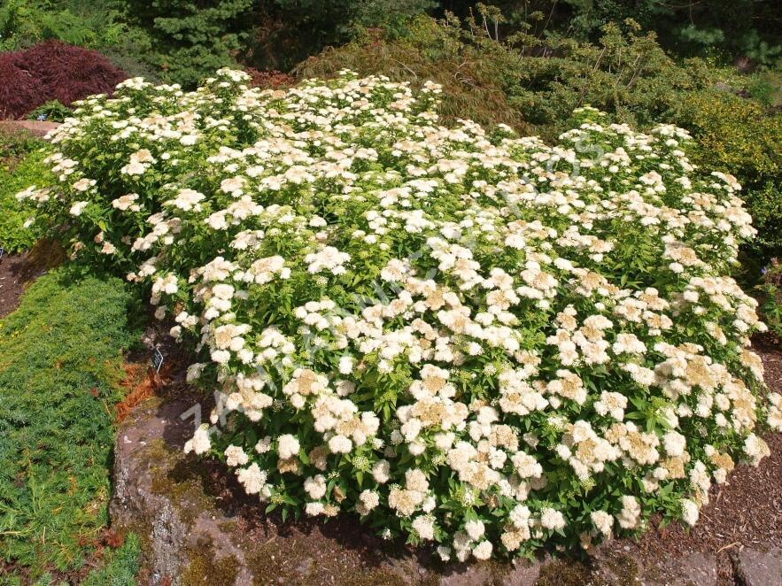 Tavolník japonský 'Albiflora' - Spiraea japonica 'Albiflora'