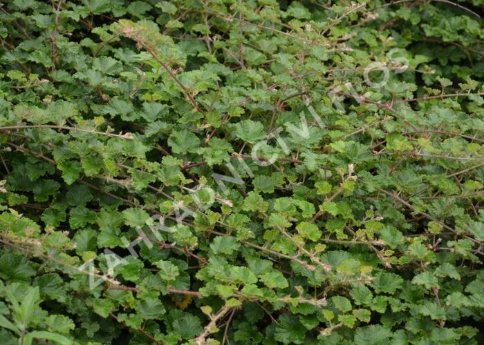 Ostružiník - Rubus tricolor