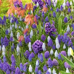 Hyacint 'Blue Jacket' - Hyacinthus 'Blue Jacket'
