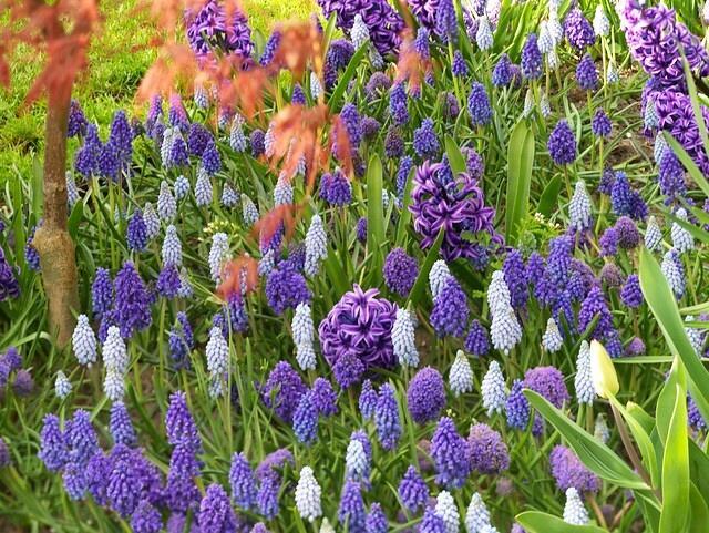 Hyacint 'Blue Jacket' - Hyacinthus 'Blue Jacket'