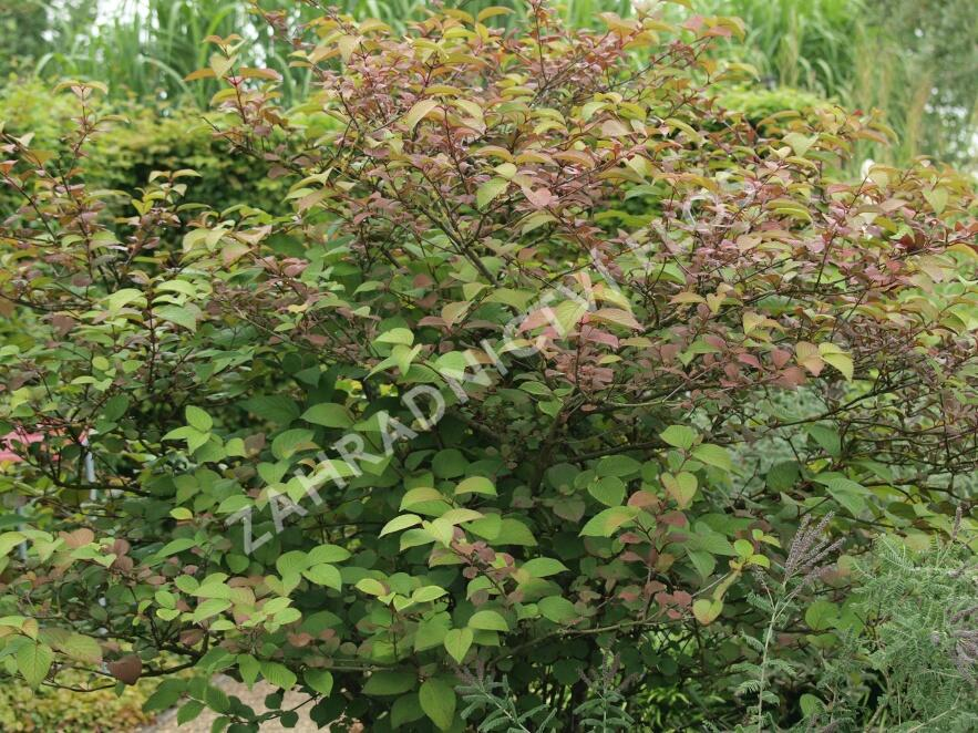 Kalina japonská 'Rotundifolium' - Viburnum plicatum 'Rotundifolium'