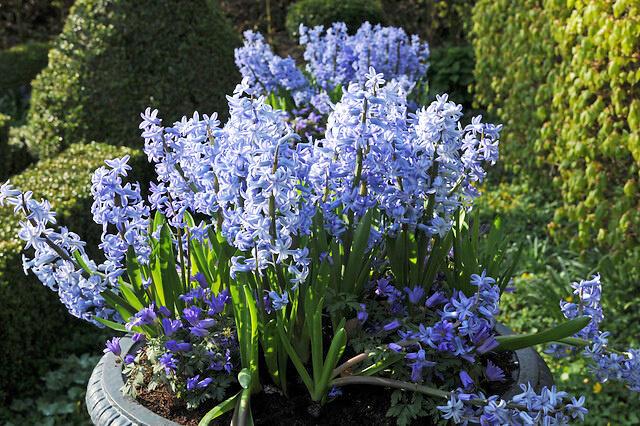 Hyacint mnohokvětý 'Blue Festival' - Hyacinthus multiflora 'Blue Festival'