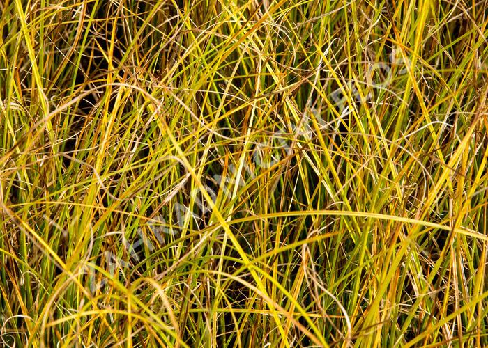 Ostřice bičíkovitá 'Kiwi' - Carex flagellifera 'Kiwi'