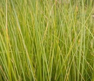 Kamýš písečný - Ammophila arenaria