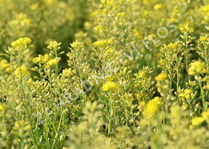 Tařice horská 'Berggold' - Alyssum montanum 'Berggold'