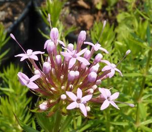 Fuopsis čnělkatý - Phuopsis stylosa