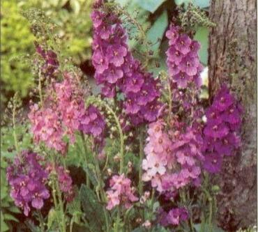 Divizna brunátná - Verbascum phoeniceum