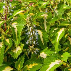 Pokojová kopřiva 'Mosaic Amazon Green' - Coleus blumei 'Mosaic Amazon Green'
