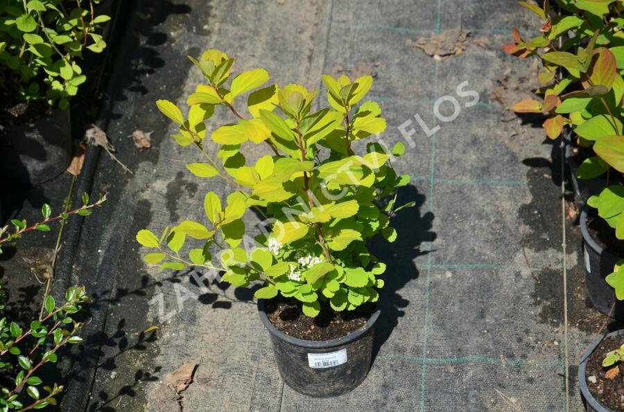 Tavolník břízolistý 'Tor' - Spiraea betulifolia 'Tor'