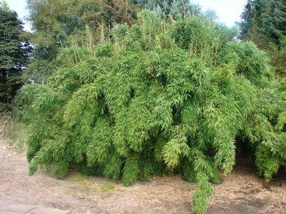 Bambus 'Simba' - Fargesia murieliae 'Simba'
