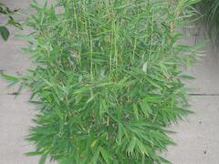 Bambus 'Jumbo' - Fargesia murieliae 'Jumbo'