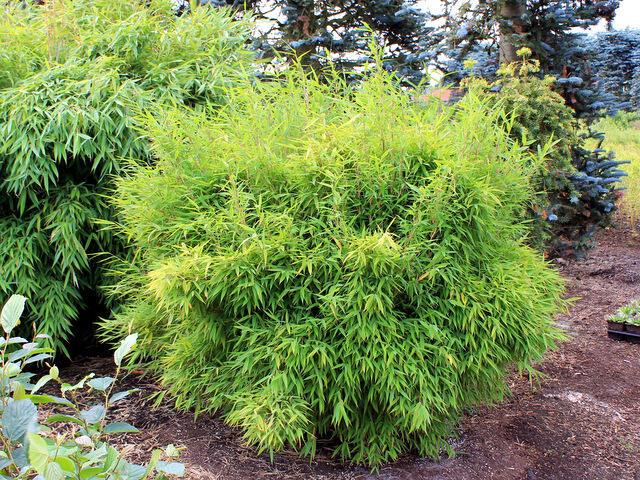 Bambus 'Bimbo' - Fargesia murieliae 'Bimbo'