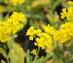 Tařice skalní 'Compact Goldkugel' - Alyssum saxatile 'Compact Goldkugel'