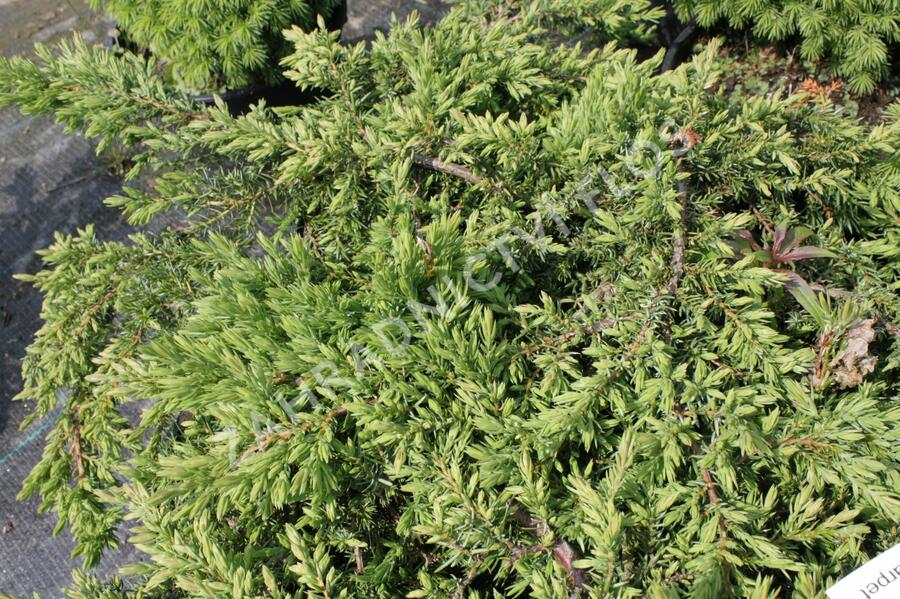 Jalovec obecný 'Green Carpet' - Juniperus communis 'Green Carpet'