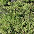Jalovec obecný 'Green Carpet' - Juniperus communis 'Green Carpet'