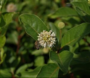 Hlavoš západní - Cephalanthus occidentalis