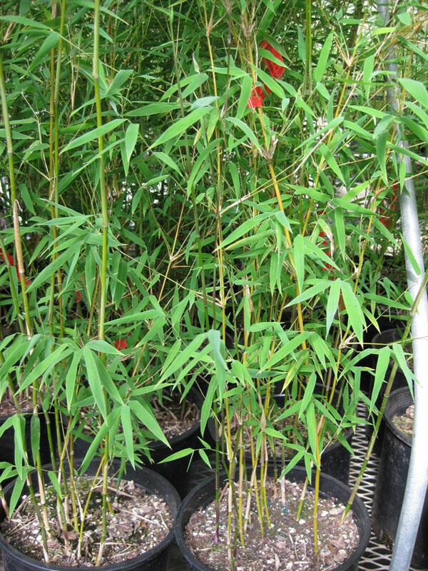 Bambus 'Genf' - Fargesia 'Genf'