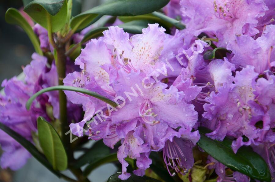 Pěnišník 'Alfred' - Rhododendron (T) 'Alfred'