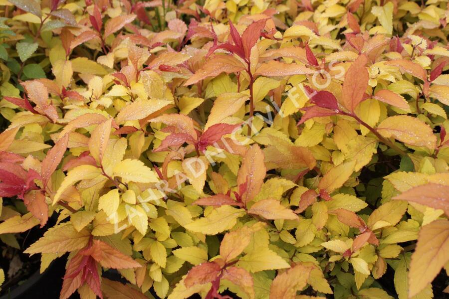 Tavolník japonský 'Goldflame' - Spiraea japonica 'Goldflame'