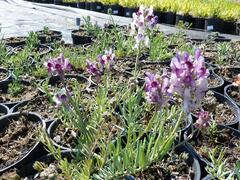 Lnice 'Neon Lights' - Linaria aeruginea 'Neon Lights'