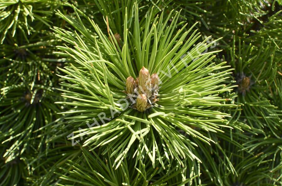 Borovice černá 'Helga' - Pinus nigra 'Helga'