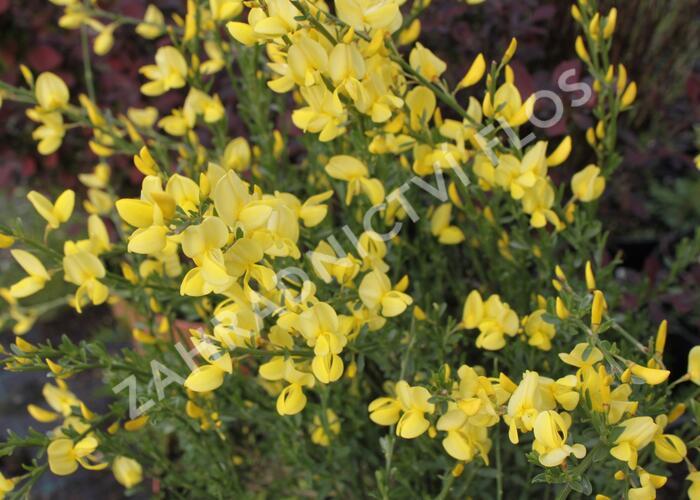 Čilimník časný 'Allgold' - Cytisus praecox 'Allgold'