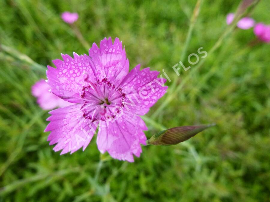 Hvozdík kropenatý 'Roseus' - Dianthus deltoides 'Roseus'
