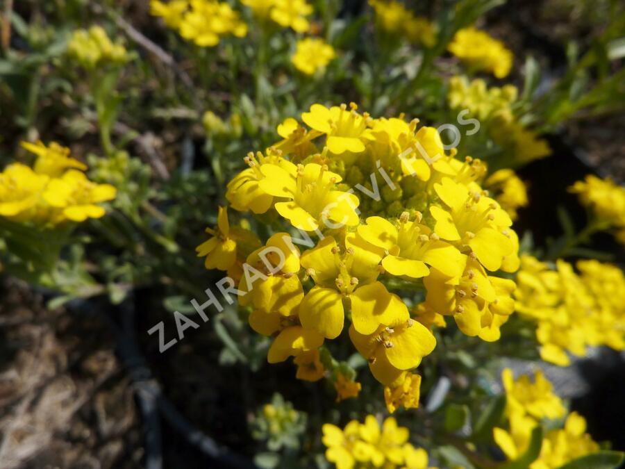 Tařice - Alyssum wulfenianum