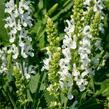 Šalvěj nádherná 'Bordeau White' - Salvia superba 'Bordeau White'
