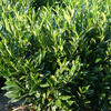 Bobkovišeň lékařská 'Reynvaanii' - Prunus laurocerasus 'Reynvaanii'